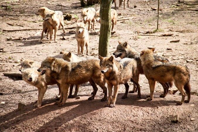 tambach-wolf-2
