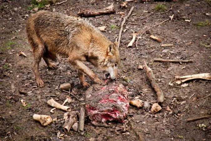 tambach-wolf-3