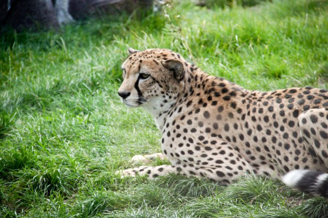 Ein völlig entspannter Gepard.