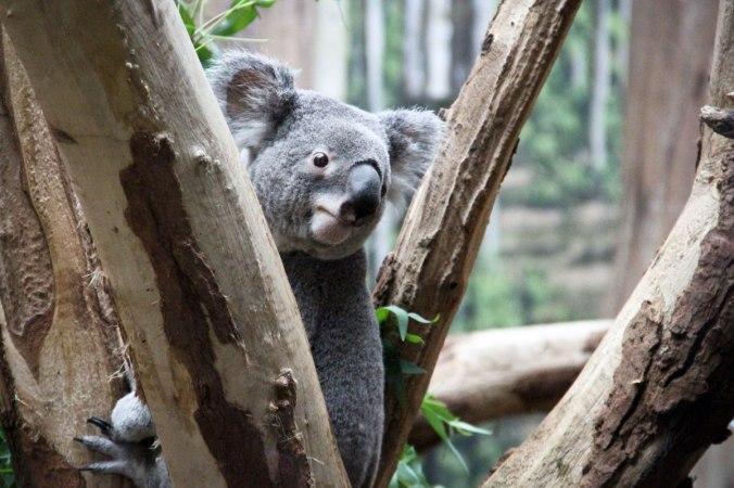 Gerade aufgewacht: mein erster Koala.