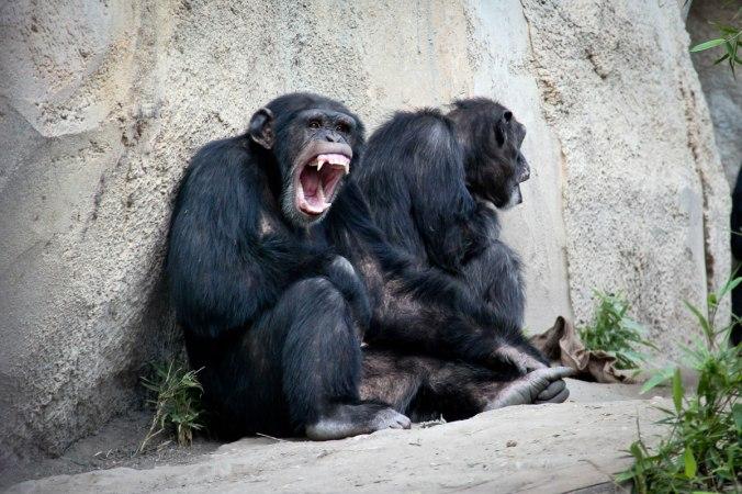 """Die Schimpansen im Zoo Leipzig: """"Hey, was glotzt du so?"""""""