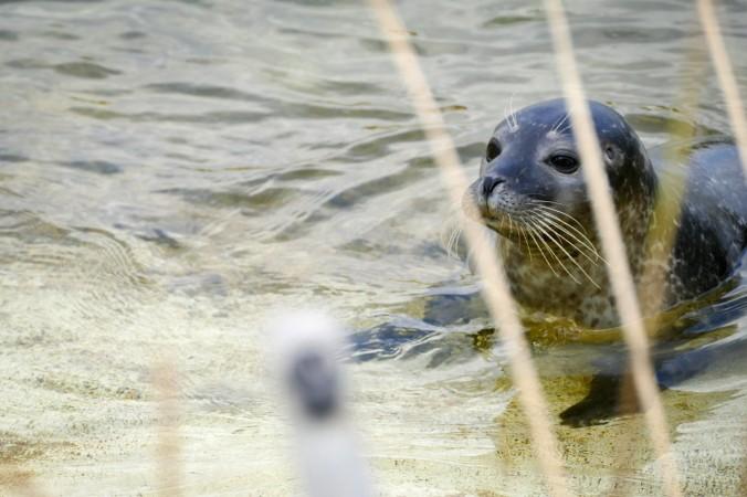 Nur ein Teil der Robben lebt fest in der Station, etliche werden wieder ausgewildert