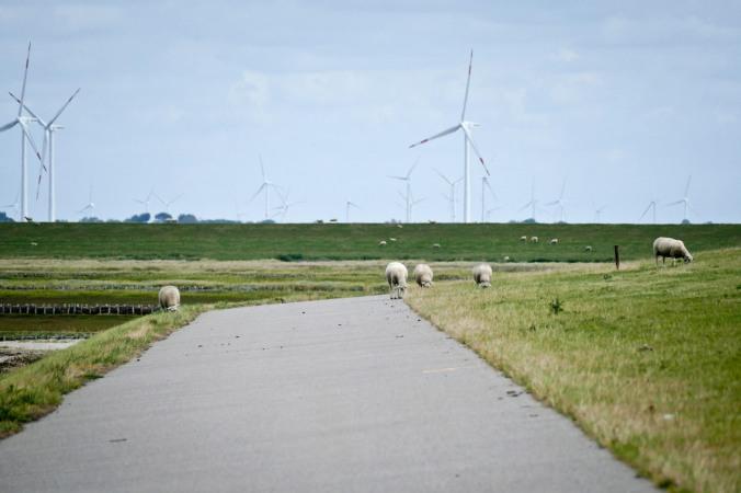 Das übliche Bild auf den Deichen: Schafe und Windräder