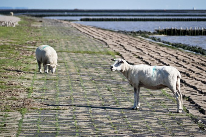 """Natürlich grasten auch vor dem """"Badestrand"""" etliche Schafe"""