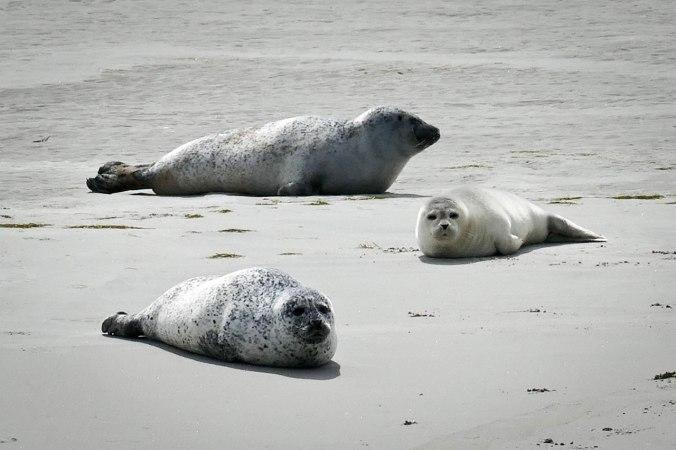 Komplett entspannt wirkende Seehunde
