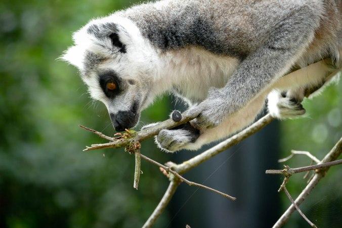 Ein freilaufender Lemur auf der Suche nach etwas zu Knabbern...