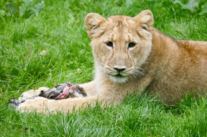 Ein zufriedener und satter Löwe
