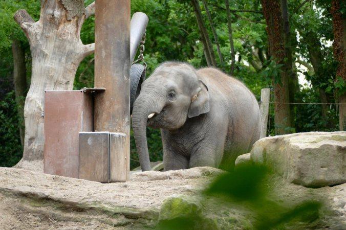 Ein übermütiger, junger Elefant auf der Suche nach Spielkameraden