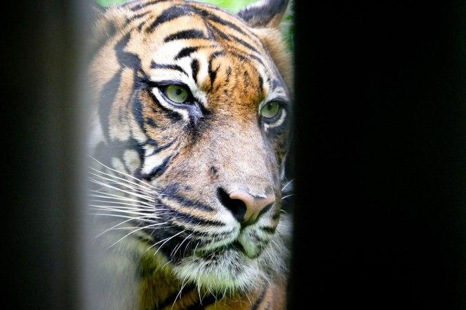 Leider bzw. glücklicherweise hinter Gitterstäben: der beeindruckende Tiger