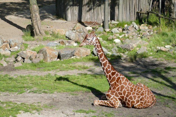 Das Giraffengehege war sehr schön angelegt