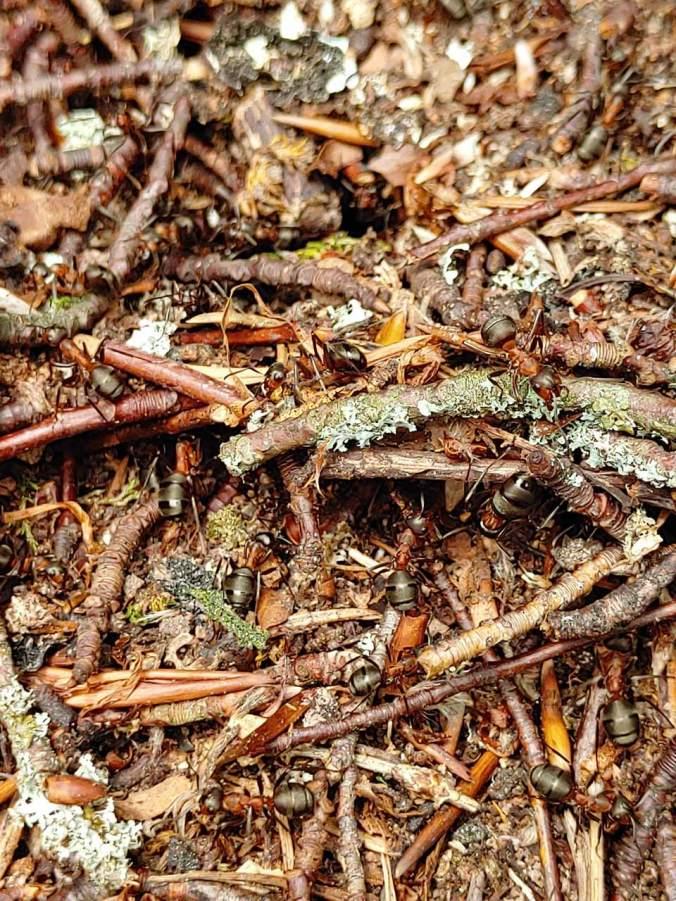 Ein Ameisenhaufen großer Waldameisen
