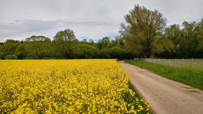 Bestes Laufwetter und gelb blühende Rapsfelder